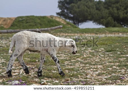 Little Lamb standing on green meadow - stock photo