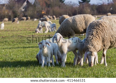 little lambs on the green