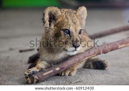 Little lion - stock photo