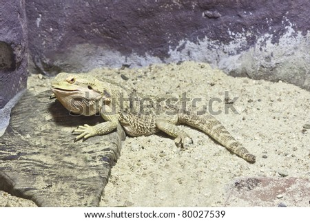 little lizard, Bearded Dragons in yellow lighting