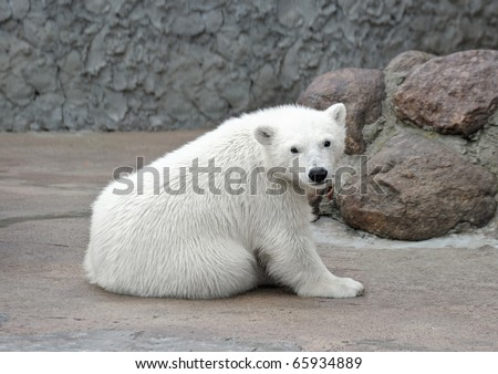 Little lonely pretty white polar bear - stock photo