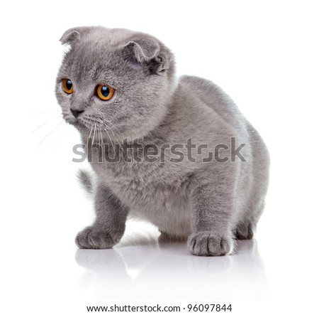 Little lop-eared kitten isolated on white background