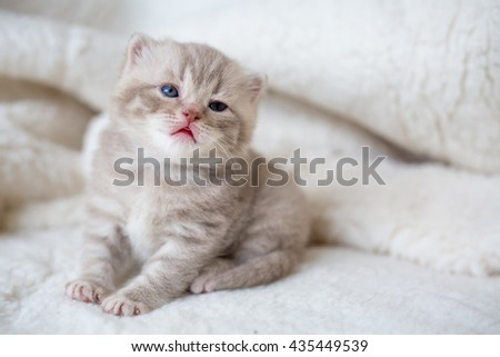 Little lop-eared kitten with blue eyes on a fur mat