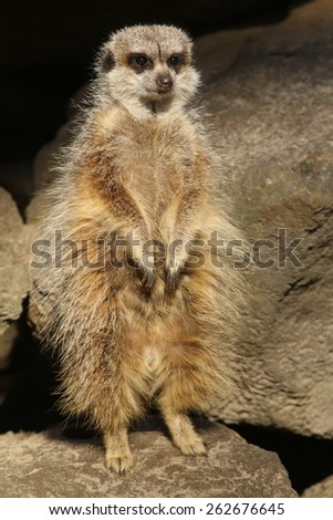 Little meerkat standing upright - stock photo