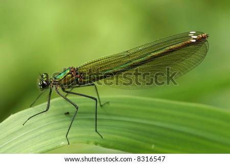 Little metallic shiny green dragonfly - stock photo