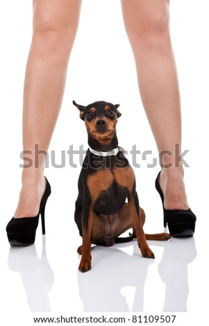 little miniature pincher between sexy legs , isolated on white background - stock photo