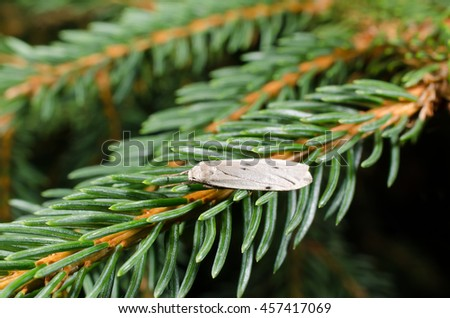 little moth rests (pine needles) - stock photo