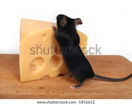 little mouse and cheese - stock photo