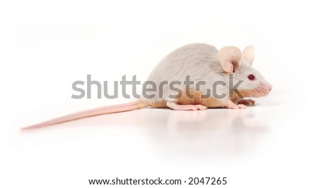 little mouse looking at something next to its nose - stock photo