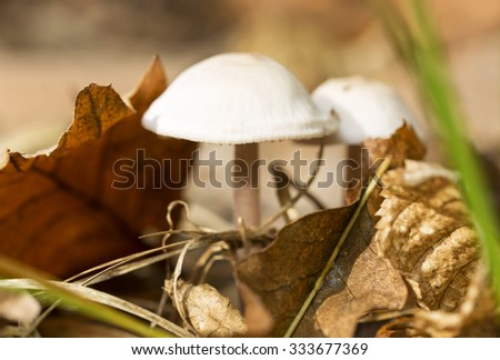 Little mushroom in the forest, macro (selective focus) - stock photo