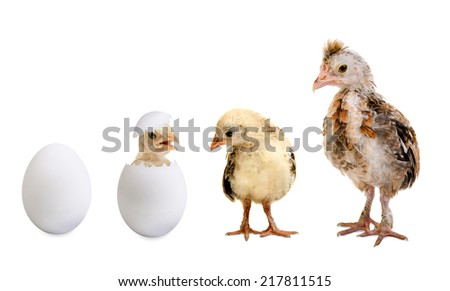 little nestling chicks  and white egg  on white background, isolated - stock photo