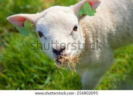 little new born lamb on green grass  - stock photo