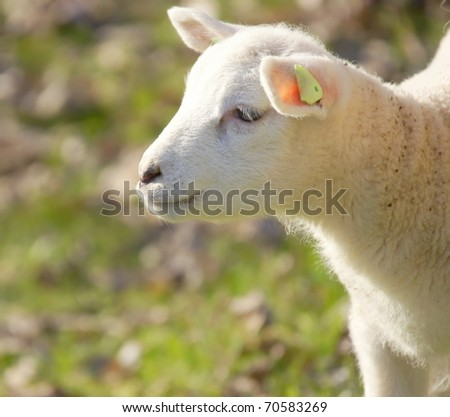 little newborn lamb in springtime - stock photo