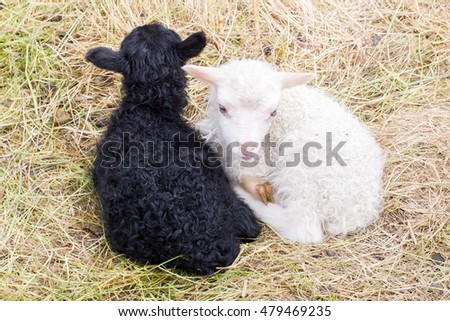 Little newborn lambs resting on the grass - Black and white - Iceland