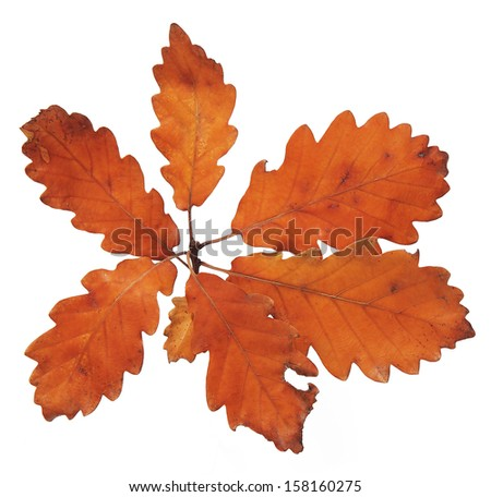 little oak branch with a dry brown leaves - stock photo