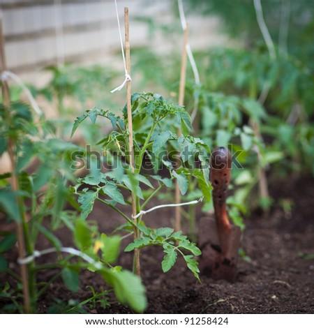 little organic/bio/permaculture garden - tomato vines in a greenhouse - stock photo