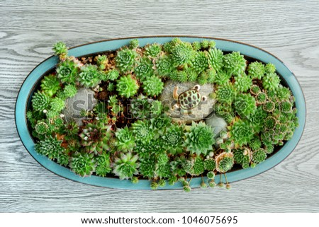 Little ornamental turtle sits on a rock in a lovely succulent garden. Horizontal format shot from overhead.
