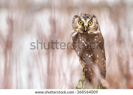Little owl Aegolius funereus - stock photo