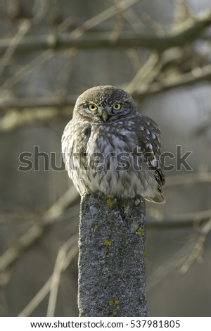 Little Owl (Athene noctua) in natural habitat