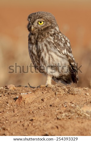 Little Owl ( Athene noctua) sunbathing . Spain - stock photo