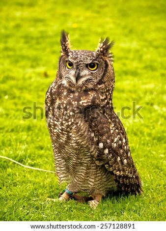 Little Owl, Bird of prey, Preston, Lancashire, UK - stock photo