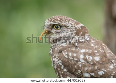 Little owl close-up with freshly captured worm - stock photo