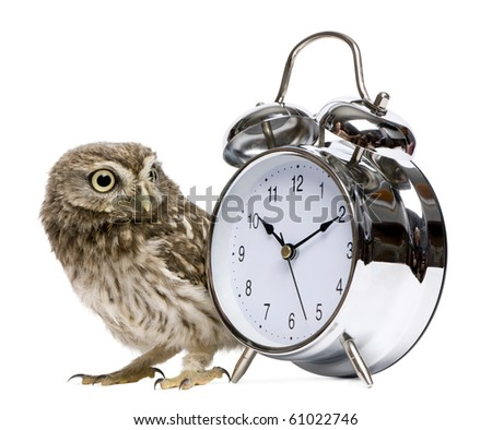 Little Owl, 50 days old, Athene noctua, in front of a white background with alarm clock - stock photo