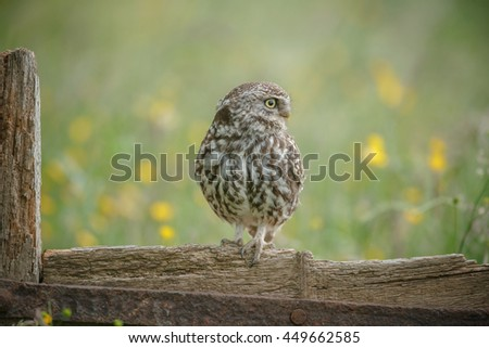 Little owl in English meadow on old textured wood - stock photo