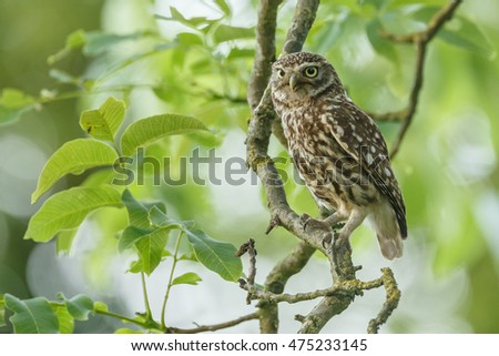Little owl in nature inmate sunlight