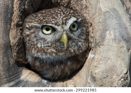 Little Owl in tree stump hole/Little Owl/Little Owl (Athene Noctua)  - stock photo
