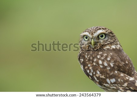 Little owl isolated on a green background, copy space on the left - stock photo