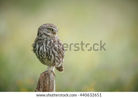 Little owl looking to the right - stock photo