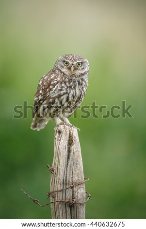 Little owl on a fence post - stock photo