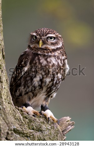 Little Owl perched on a branch - stock photo