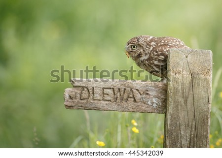 Little owl perched on a British bridleway sign - stock photo