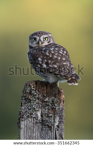 Little Owl perched on stump against a forest background/Little Owl/Little Owl (Athene Noctua)  - stock photo