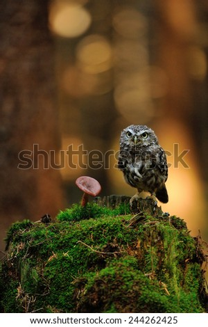 Little owl standing on moss tree stump in the forest next to the mushroom - stock photo
