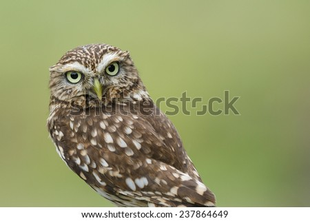 Little owl staring, isolated on a soft green background. - stock photo