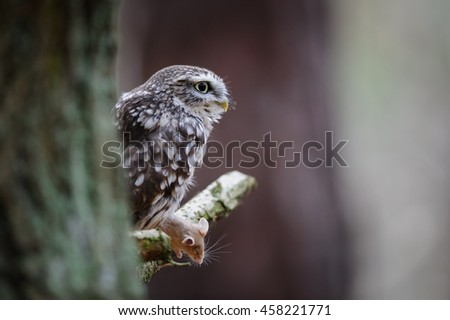 Little owl with mouse pray on tree branch behind tree trunk - stock photo