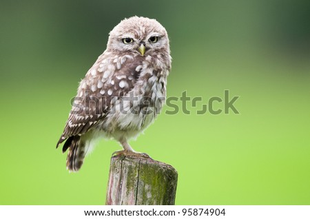 Little owl young perching on a wooden stump - stock photo
