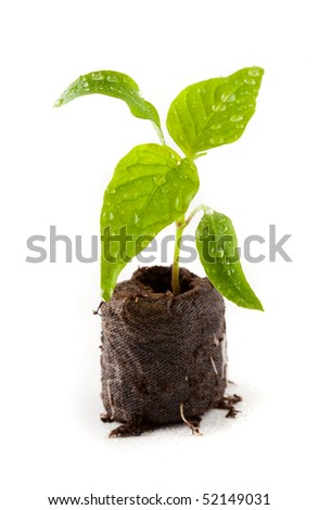 Little pepper plant with water drops on it in peat (coal) ball, isolated on white - stock photo