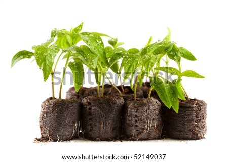 Little pepper plants with water drops on them in peat (coal) balls, isolated on white - stock photo