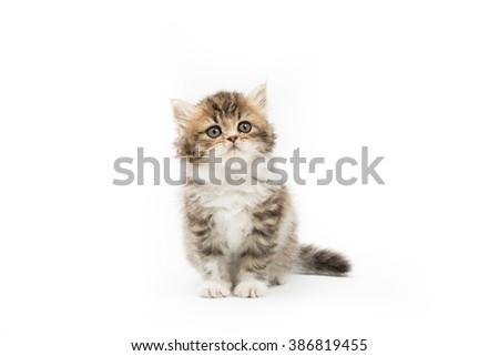 Little Persian tabby kitten on isolated background - stock photo