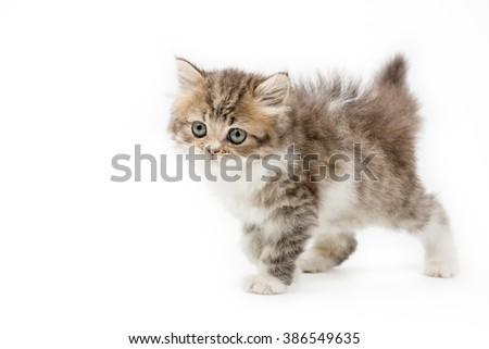 Little Persian tabby kitten walking on isolated background - stock photo
