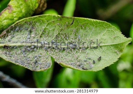 little pests, aphids - stock photo