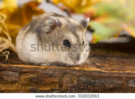 little pet hamster - Phodopus sungorus
