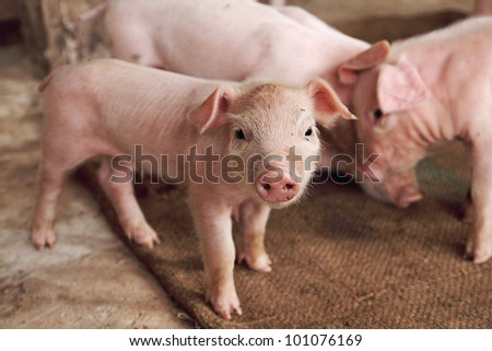 little pig - stock photo