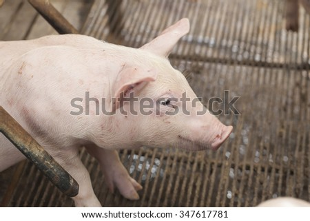 Little Pig is a pig feeding - stock photo