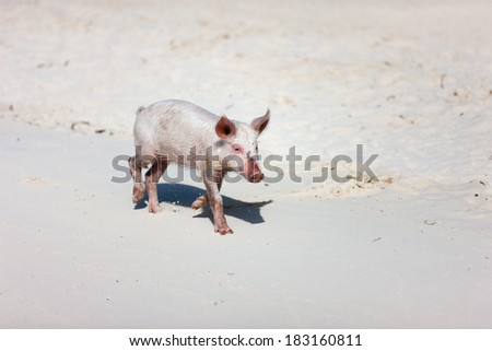 Little piglet at Exuma beach Bahamas - stock photo
