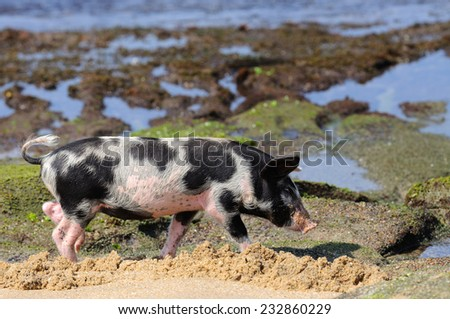Little piglet at ocean beach - stock photo